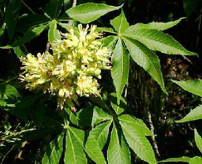 10 TEXAS BUCKEYE SEEDS arguta NUTS - Aesculus glabra var