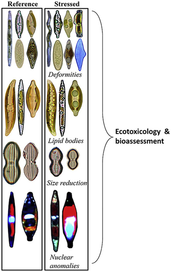 The use of diatoms in ecotoxicology and bioassessment: Insights, advances and challenges