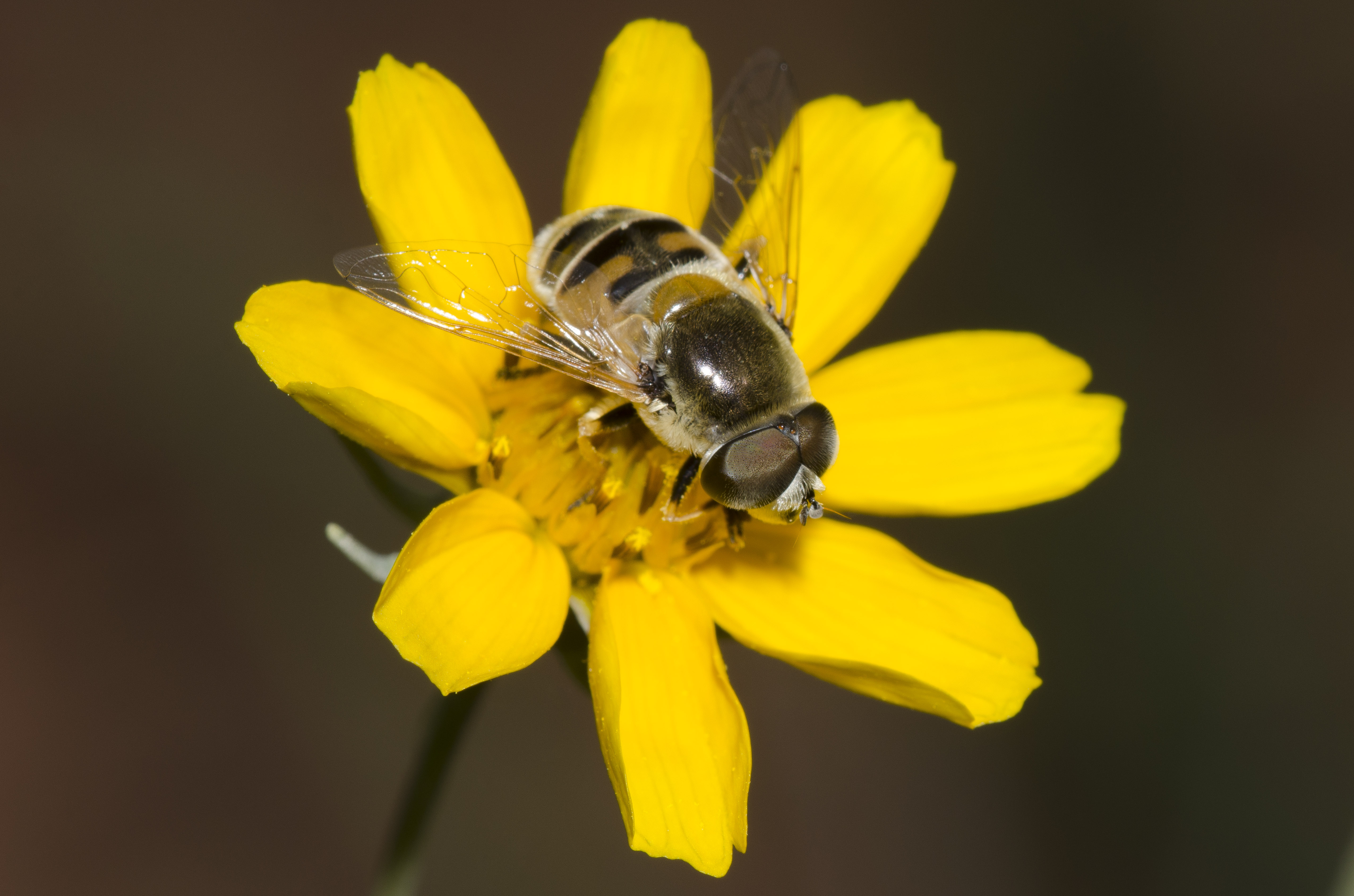 Syrphid Fly, Eristalis stipator, on stiff greenthread, Thelesper