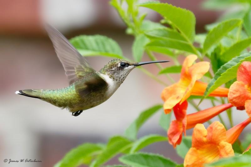 Ruby Throated Hummingbird, female