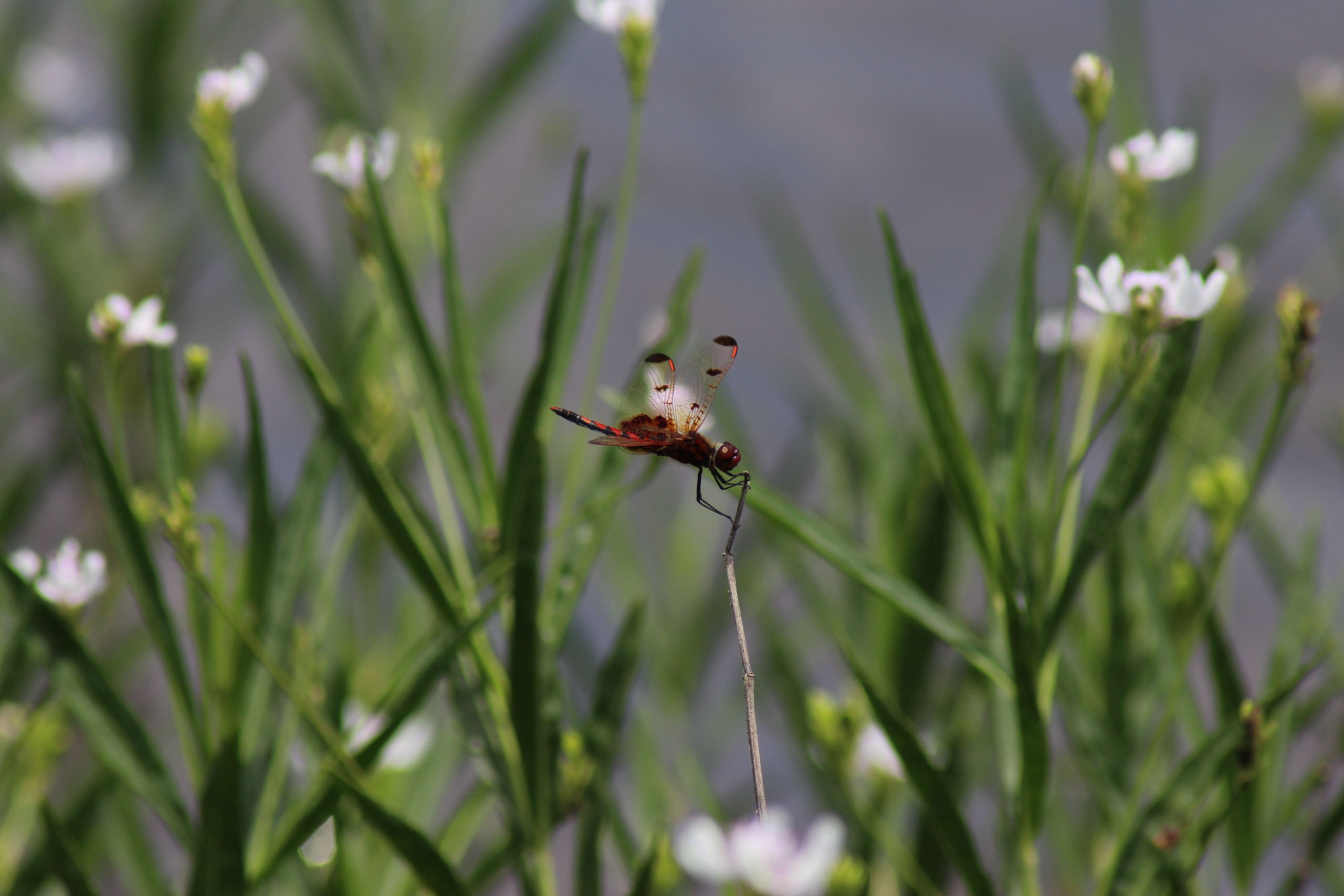 New Book: Dragonflies at a Biogeographical Crossroads
