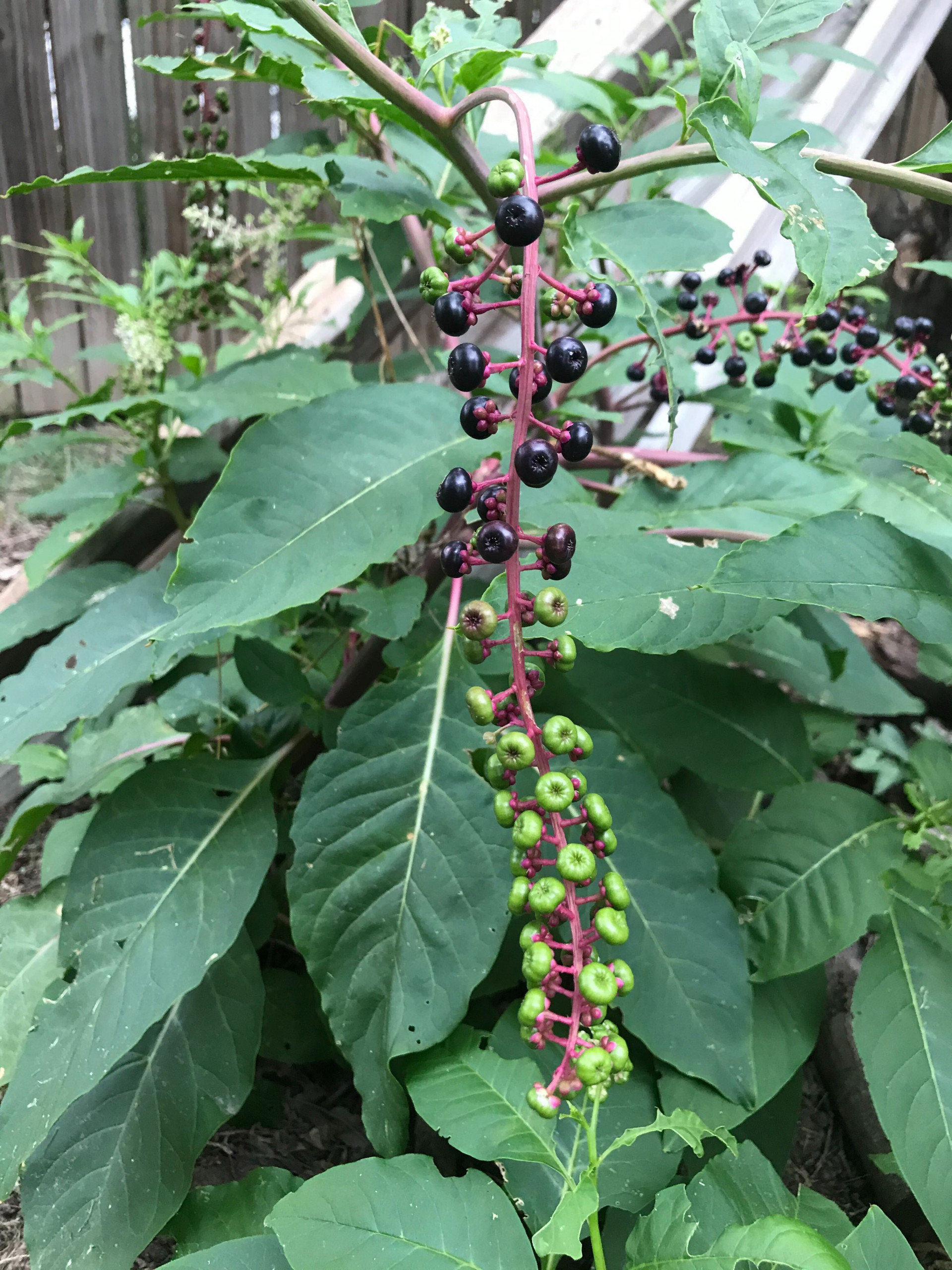 Pokeweed fruit cluster with ripe purple berries and green inmature fruits.
