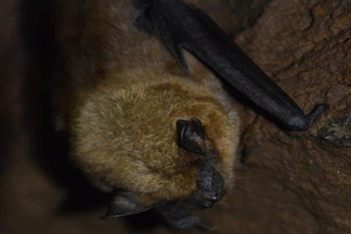 Species of the Week – Big Brown Bat