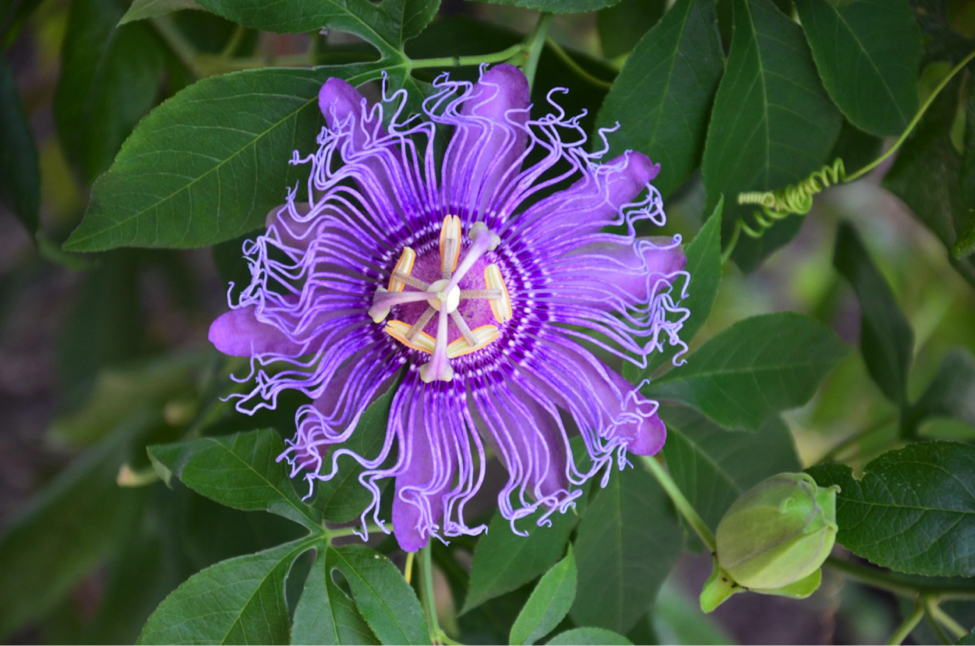 Species of the Week – Purple Passion Flower