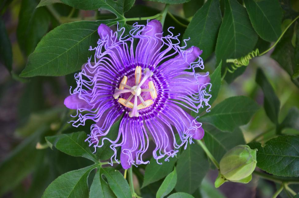 Species of the Week – Purple Passion Flower